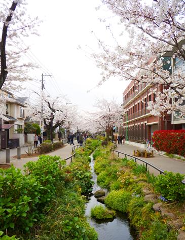 Sakura_skz